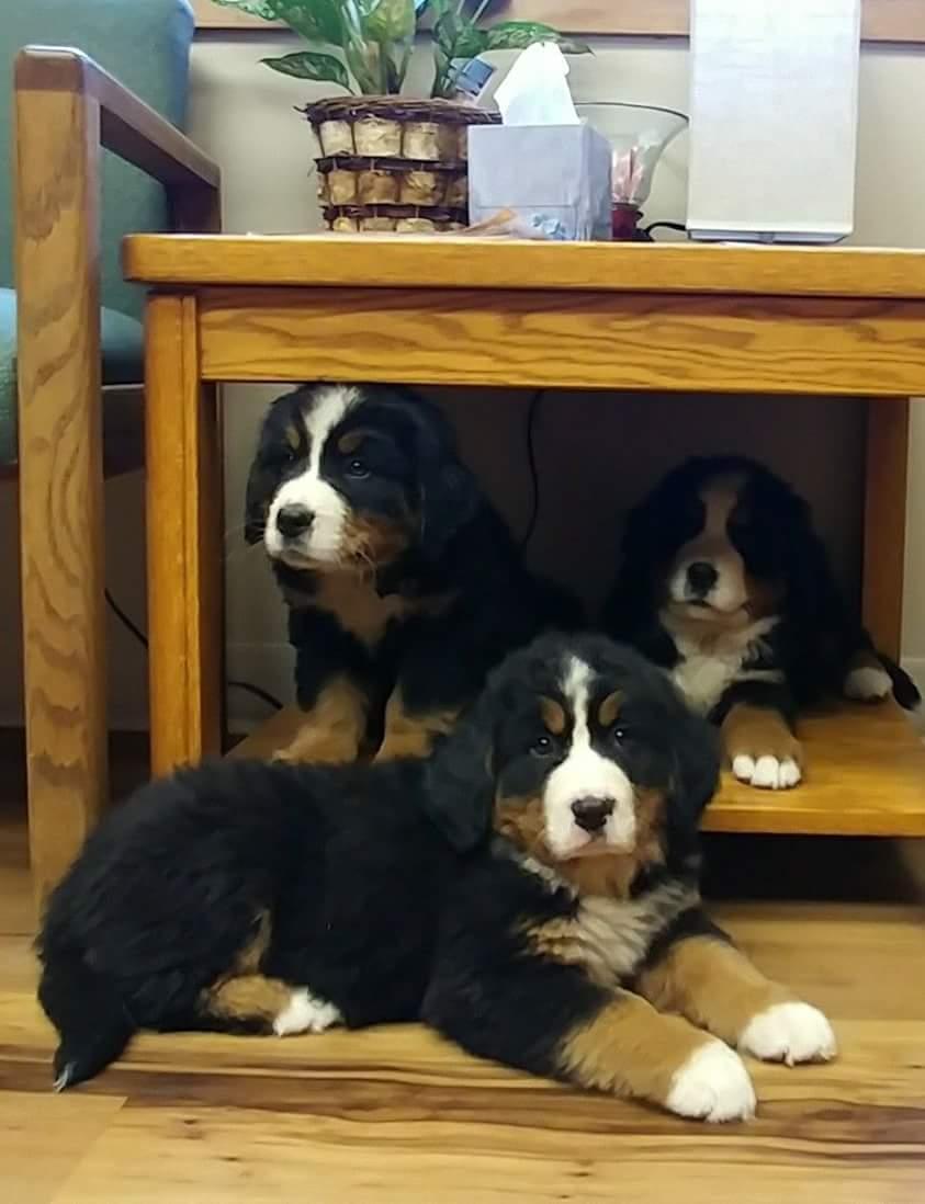 Northstars Kennel Bernese Mountain Dogs Llc